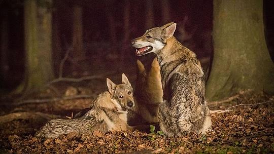 Vlk nezožral Červenú čiapočku, nový...