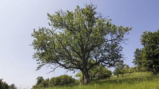 Pri Nitre vysadili vzácne dlhoveké stromy,...